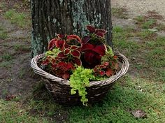 Coleus and creeping Jenny. Two of my fav. Pairings.
