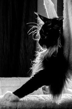 Kitty pattes de velours