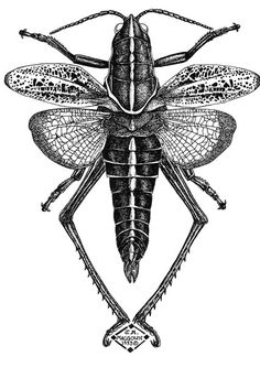 Grasshopper #Insect in Pen & Ink by Joe A. MacGown