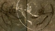 BBC News - Tiny Chinese Archicebus fossil is oldest primate yet found