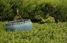 Collection basket among the tea leaves - Speciality Tea Herbal infusions Teaware & Gifts | Rare Tea Company