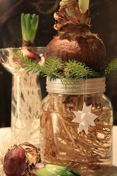 """Jippi!! Ny ide med norgesglass! Som dere sikkert vet så elsker jeg norgesglass. Denne ideen """"datt ut"""" av hodet i dag. Fjern glasslokket og skru aluminiumsringen på glasset. Vask av all jorden på løken. Legg røttene oppi vannet / glasset og stikk gran imellom røttene og løken, slik at løken står stødig."""