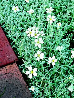 Give your landscape a cool look, even on the hottest of days, with the silvery foliage and white flowers of snow-in-summer. This great low-care ground cover creates a beautiful, pest-free carpet. Plant Name: Cerastium tomentosum Growing Conditions: Full sun and well-drained soil Size: To 3 inches tall and spreading to several feet wide Zones: 3-7