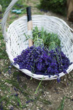 Levendula virágzás és szüret 2015 Lavender Soap, Fruit, Purple, Viola
