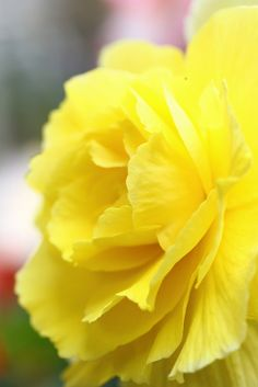 I am going to plant red and yellow begonias in my garden. They are similar to carnations. In early July I found that one out front had come up but none of the others ever came up.