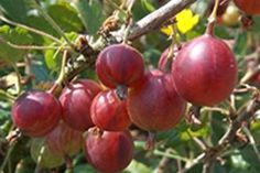 Hinnomaki Red Gooseberry - Hinnomaki Red Gooseberry are dark red medium size fruit with tangy outer skin and sweet flesh. These upright plants are easy to grow and have good mildew resistance. Hinnomaki Red Gooseberry is disease resistant, heavy bearer. They should produce 3 to 5 quarts when mature. Uses: Canning / Preserves, Fresh Eating