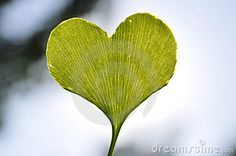 heart shaped ginkgo leaf