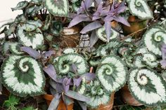 Growing Intriguing Rex Begonia