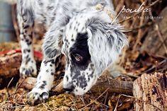 English Setter puppy. Sparrow Finds a Stick. Pet Photography Portrait.