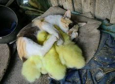 Just 23 Unusual Animal Friends Taking a Nap Together - World's largest collection of cat memes and other animals Grumpy Cat Disney, Animals And Pets, Baby Animals, Funny Animals, Cute Animals, Unusual Animal Friendships, Unusual Animals, Cute Cats, Funny Cats