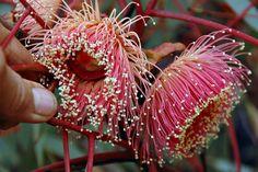 Ooldea Mallee, Eucalyptus youngiana.