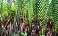 Image result for dừa nước