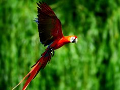 Birds of all kinds are vanishing as a result of human impact on the environment: Scarlet macaw. Animal Pictures, Cute Pictures, Beautiful Pictures, Reptiles, Mammals, Bird Species, Central America, First World, Lions