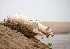 #BullTerrier Running for a ball #English #Bull #Terrier #Dog #Playing #Running #ActionPhoto #Jumping