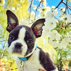 """Gösta the Boston Terrier on Instagram: """"9 weeks old - Proud to announce that Gösta now has two pointy ears """""""
