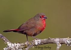 African Firefinch by Gregg Darling on 500px