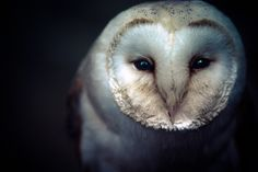 Common Barn Owl (Tyto alba) - Information, Pictures, Sounds - The Owl Pages Beautiful Owl, Animals Beautiful, Cute Animals, Stupid Animals, Tyto Alba, All Gods Creatures, Nature Animals, Wild Animals, Beautiful Creatures