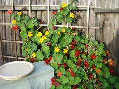 nasturtiums- reminds me of home by the beach... & love the smell!