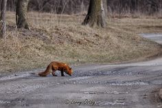 Larry Ostby's Wild Critters: A Red Fox...