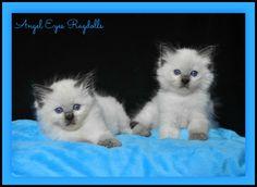 Seal mitted boys from Angel Eyes Ragdolls, stunning blue eyes. Angel Eyes, Blue Eyes, Seal, Fox, Cats, Animals, Gatos, Animales, Animaux