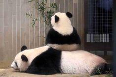 ほほえましい画像を貼るトピ Panda Love, Red Panda, Cute Panda, Animals And Pets, Baby Animals, Cute Animals, Funny Animals, Panda Mignon, Ueno Zoo