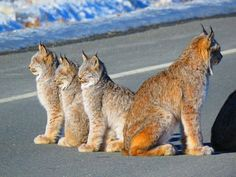 Canada Lynx and cubs / Leisurely lynx surprise Yukon photographers Mother and five kittens found sunning themselves in the middle of Haines Road CBC News [Stan and Melody McKenzie] Big Cats, Cool Cats, Cats And Kittens, Most Beautiful Animals, Beautiful Cats, Cute Baby Animals, Animals And Pets, Wild Animals, Fish Tales