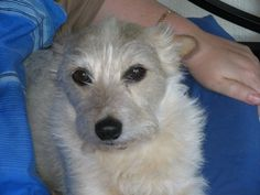 Our wire-haired JRT Jarod - what a monumental character he was. (1995-2008)