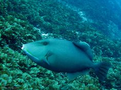 A Bridled Triggerfish (Sufflamen fraenatum). Fish Rock Cave, South West Rocks, NSW
