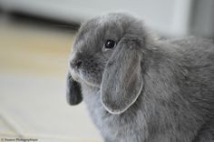 Arwen a cute grey rabbit on Yummypets.com #socialnetwork #pets #cute #rabbit #bunny #home #pets Discover more photos HERE ==> https://fr.yummypets.com/pets/272978