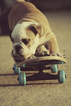 Cute little Bulldog on a skateboard. #dogs