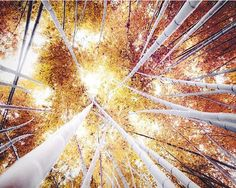 Tree photograph rustic gold wall art bamboo forest by Raceytay.  Reminds me of being a kid and looking up into the trees :)
