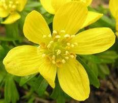 Mens vi venter på forår og sol - så rigtig god dag til ALLE -  Erantis betyder forårsblomst – [græsk - er forår + anthos blomst]