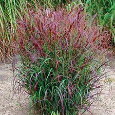 Latin name: Panicum virgatum 'Prairie Fire. Latin name: Panicum virgatum 'Prairie Fire. Prairie Fire, Prairie Garden, Landscaping Plants, Garden Plants, Landscaping Ideas, Florida Landscaping, Zone 5 Plants, Landscape Design, Garden Design
