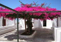 Liliana Usvat - Reforestation and Medicinal use of the Trees : The growth rate of bougainvilleas