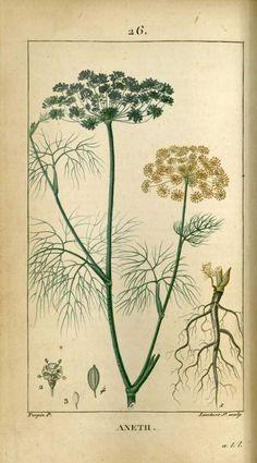 Vintage Botanical Prints, Botanical Drawings, Antique Illustration, Plant Illustration, Botanical Flowers, Botanical Art, Impressions Botaniques, Illustration Botanique, Historia Natural