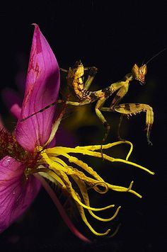 Flower Mantis, Burma.  Which is more bizarre - the mantis or the flower?