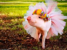 Pretty in pink: This adorable piglet called Hamlet was fitted out with a pink tutu and giv...