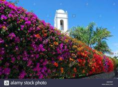 colourful-bougainvillea-hedge-beach-promenade-playa-grande-playa-blanca-B9KRWF.jpg (1300×960)