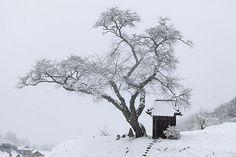 雪桜_小沢の桜