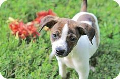 Andover, CT - Terrier (Unknown Type, Medium) Mix. Meet PUPPY OCTAVIA, a puppy for adoption. http://www.adoptapet.com/pet/16179956-andover-connecticut-terrier-unknown-type-medium-mix