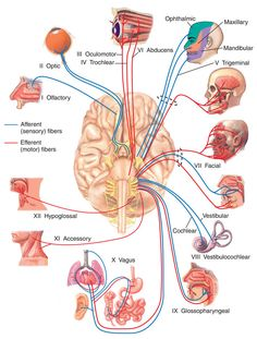 Looking for online definition of fifth cranial nerve in the Medical Dictionary? fifth cranial nerve explanation free. What is fifth cranial nerve? Meaning of fifth cranial nerve medical term. What does fifth cranial nerve mean? Nerve Anatomy, Brain Anatomy, Human Body Anatomy, Medical Anatomy, Human Anatomy And Physiology, Muscle Anatomy, Vagus Nerve, Biology Facts, Health Care