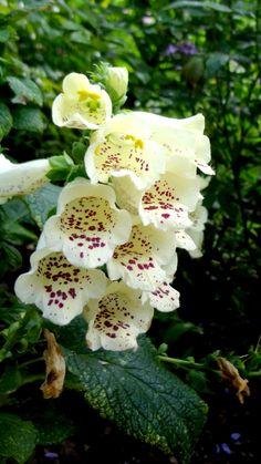 ... und so etwas Schönes soll giftig sein? Plants, Poisonous Plants, Medicinal Plants, Nice Asses, Plant, Planting, Planets