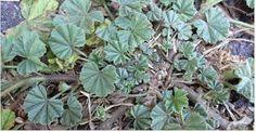 Esta planta cresce como uma erva daninha em beira de estrada e áreas não cultivadas.Suas flores são bonitas, podendo ser rosa ou roxas, e a planta chega a atingir algo em torno de 40 a 100 centímetros.