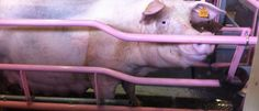 Pig in sow stall Free Planet, Pig Farming, Animal Cruelty, Compassion, Cruelty Free, Netherlands, Big, Animaux, The Nederlands