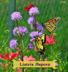 Best Butterfly Garden Plants- a monarch butterfly and an eastern tiger swallowtail share the sweet nectar of liatris aspera.
