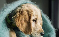 Blue Kare - Está confeccionada a mano por artesanos de Ezcaray. Su composición es 73% mohair (pelo de cabra de angora y una de las fibras naturales más valiosas del mundo) y 27% lana natural.  De aspecto esponjoso, con su abrigo el perro recibe lo más parecido al abrazo de su dueño. #HANNIKO #Mantas #MantasParaPerros #Blankets #DogBlankets #LuxuryDogs #LuxuryDogsBlankets Blanket, Dogs, Animals, World, Dog Blanket, Goats, Sewing Coat, Gatos, Animales