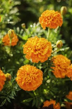 Marigolds can help repel mosquitoes. Plus other 8 plants that do the same