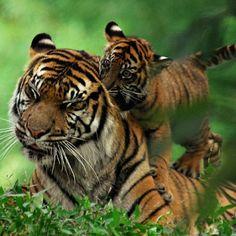 Pawprintsofpanthera:Sumatran Tiger Play Time By Nikographer...