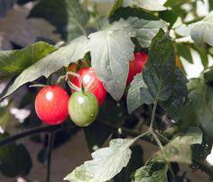 Heute verrate ich Euch, auf was Ihr achten müsst, wenn Ihr Tomaten in Kübeln auf der Terrasse oder dem Balkon zieht und großen Erfolg bei der Ernte haben wollt.