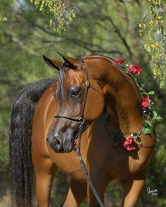 The lovely Egyptian Arabian mare Desperados Belle by Thee Desperado on our farm in central Texas. Arabians Ltd. #theedesperado